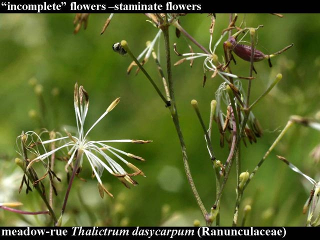 meadow-rue male flowers