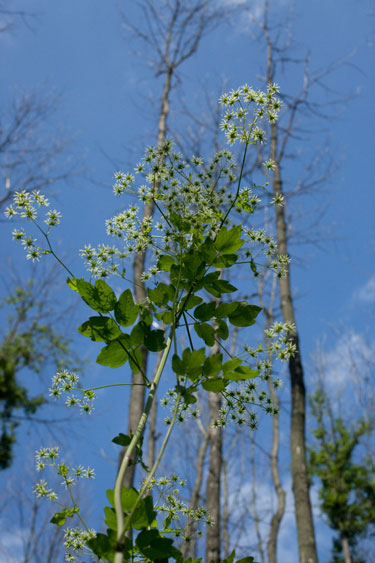 female tall meadow-rue