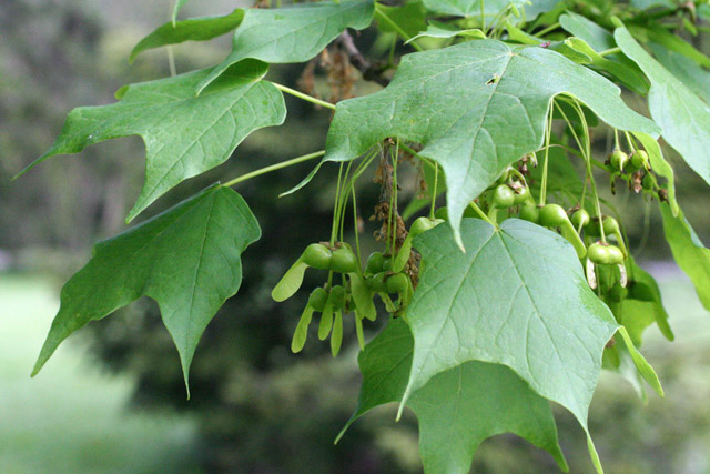 silver maple fruits