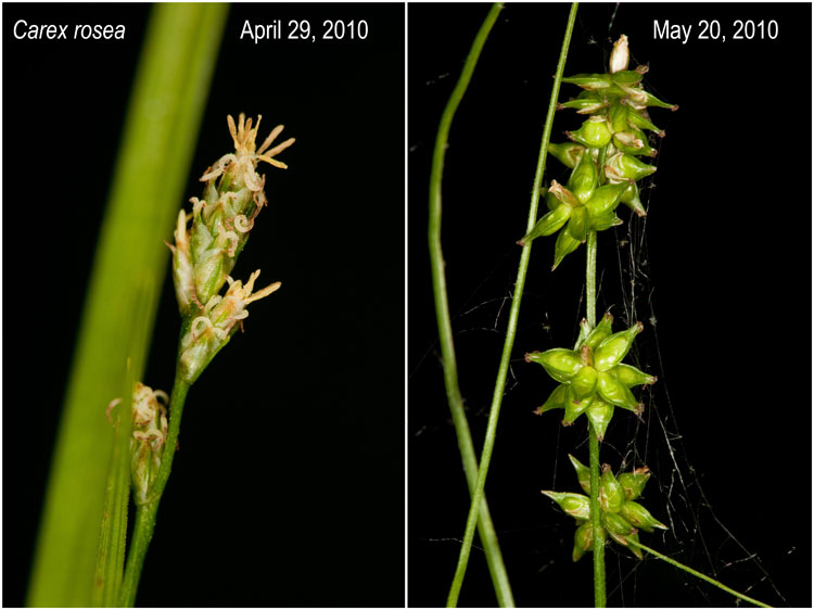 Carex rosea flowers and fruit