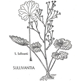Sullivantia illustration